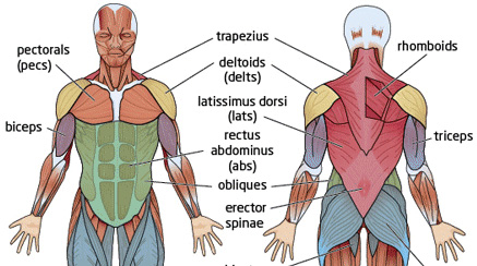 muscle map